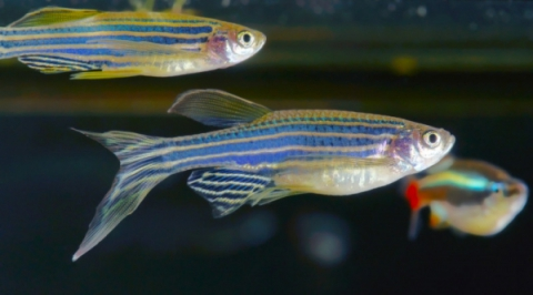 BPA Chemical Affects Brain Development in Zebrafish